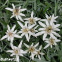 Edelweiss lille